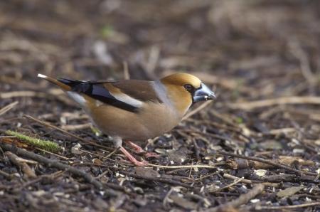 Hawfinch, Coccothraustes coccothraustes, single bird on ground, UK photo