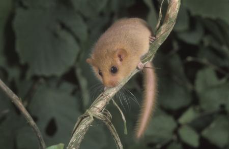 엷은 갈색 또는 일반 겨울잠 쥐, Muscardinus의 avellanarius, 공장에 하나의 포유 동물, 영국 스톡 콘텐츠