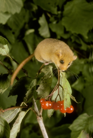 Hazel or common dormouse, Muscardinus avellanarius, single mammal on plant, UK