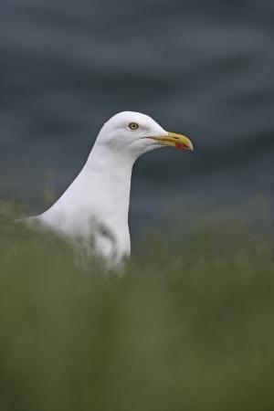larus: Herring gull, Larus argentatus, single bird head shot, Scotland Stock Photo