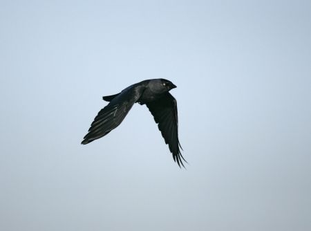 Jackdaw, Corvus monedula, single bird in flight, UK photo