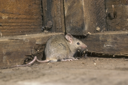 mouse: House mouse, Mus musculus, single mammal in shed, UK