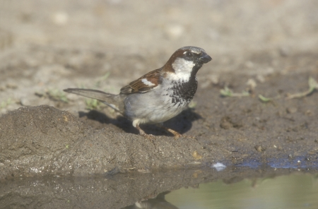 domesticus: House sparrow, Passer domesticus, single male by water Stock Photo