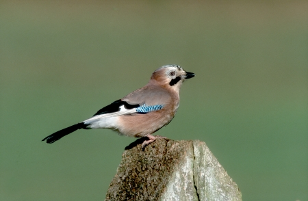garrulus: Jay, Garrulus glandarius, single bird on post, West Midlands, UK