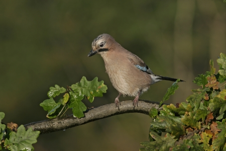 garrulus: Jay, Garrulus glandarius, single bird on branch, West Midlands, UK