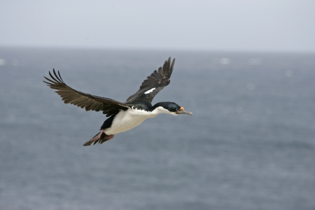 phalacrocorax atriceps: King cormorant, Phalacrocorax atriceps albiventer, single bird in flight, Falklands