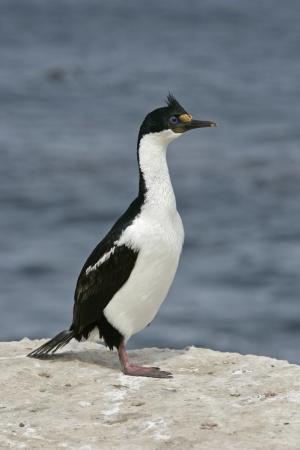 phalacrocorax atriceps: King cormorant, Phalacrocorax atriceps albiventer, single bird by water, Falklands