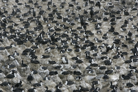 phalacrocorax atriceps: King cormorant, Phalacrocorax atriceps albiventer, group in colony, Falklands