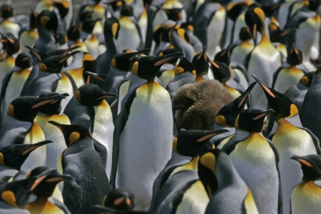 King penguin, Aptenodytes patagonicus, large group, Falklands        photo