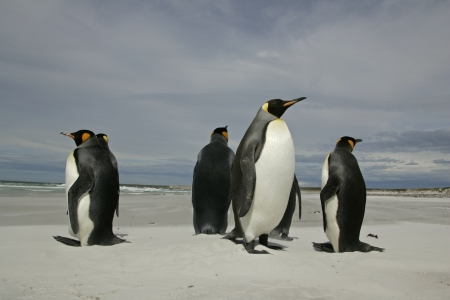 King penguin, Aptenodytes patagonicus, group on beach, Falklands        photo