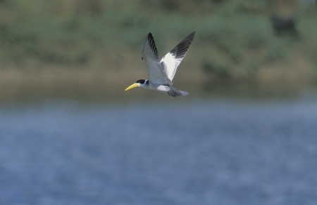 simplex: Large-billed tern, Phaetusa simplex, single bird in flight, India