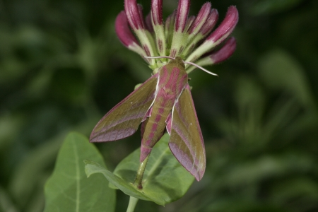 Large elephant hawk moth, Deilephila elpenor, moth on plant photo