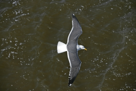 Lesser black-backed gull, Larus fuscus, single bird in flight photo