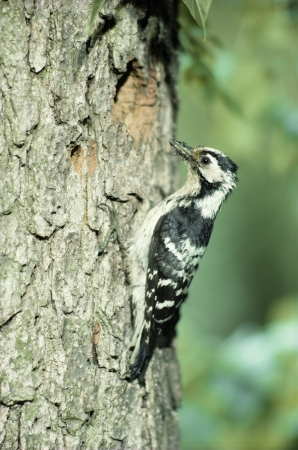 dendrocopos: Lesser-spotted woodpecker, Dendrocopos minor, single female at nest
