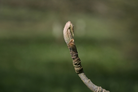 sorbus aucuparia: Mountain ash, Sorbus aucuparia, bud on twig
