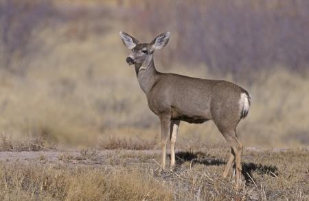 odocoileus: Mule deer, Odocoileus hemionus, single mammal, New Mexico, USA Stock Photo