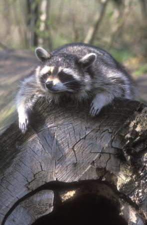 racoon: North American racoon, Procyon lotor, single mammal on log