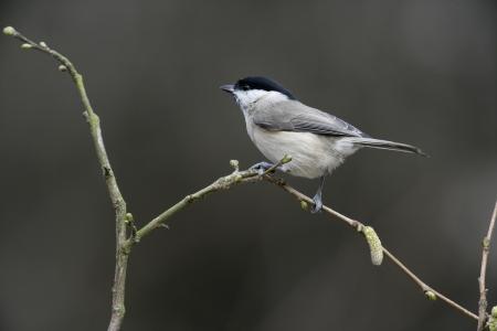 palustris: Marsh tit, Parus palustris, single bird on branch, UK