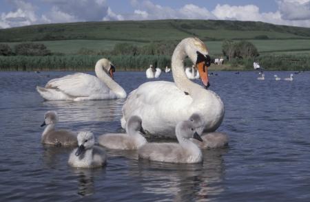 cygnus olor: Mute swan, Cygnus olor, adult bird with young, UK