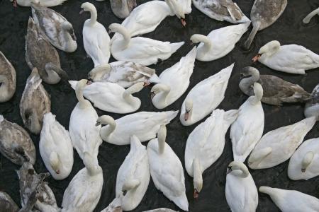 cygnus olor: Mute swan, Cygnus olor, large group of birds, UK Stock Photo
