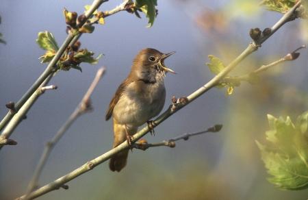 Nightingale, Luscinia megarhynchos, single bird on branch, Greece