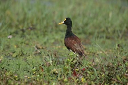 jacana: Northern jacana, Jacana spinosa, single bird on grass, Belize Stock Photo