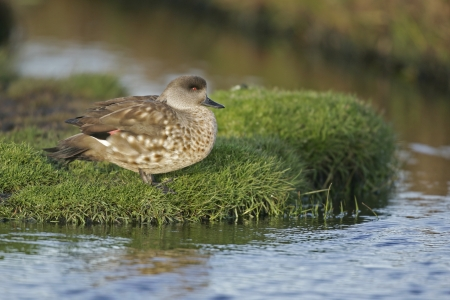 patagonian: Patagonian crested duck or  Grey duck, Lophonatta speculariodes speculariodes, single bird by water, Falklands