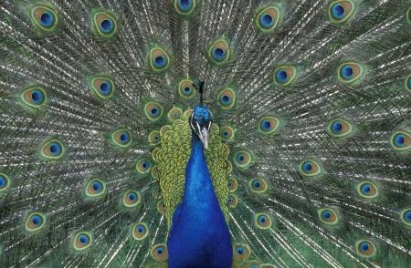 pavo cristatus: Peafowl, Pavo cristatus, single male displaying Stock Photo