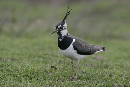 lapwing: Northern lapwing, Vanellus vanellus, single bird on grass, Yorkshire Stock Photo