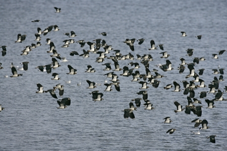 lapwing: Northern lapwing, Vanellus vanellus, flock birds in flight,  Stock Photo