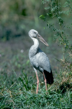 Open-billed stork, Anastomus oscitans, single bird on grass, India photo