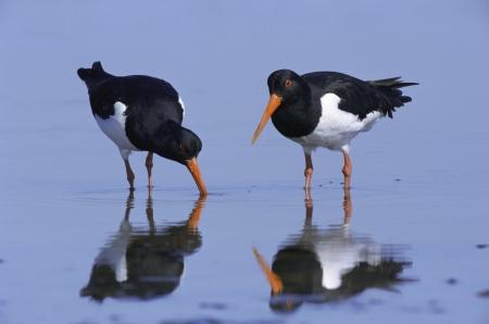 Oystercatcher, Haematopus ostralegus, two birds by water