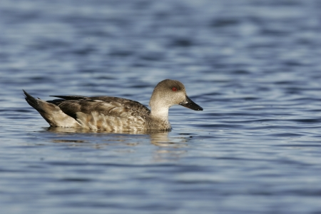 crested duck: Patagonian crested duck or  Grey duck, Lophonatta speculariodes speculariodes, single bird on water, Falklands