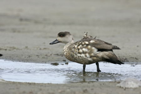 crested duck: Patagonian crested duck or  Grey duck, Lophonatta speculariodes speculariodes, single bird by water, Falklands