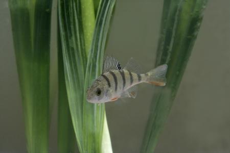 perca: Perch, Perca fluviatilis, single fish in water