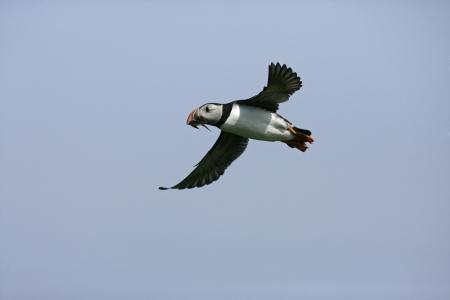 arctica: Puffin, Fratercula arctica, single bird in flight,