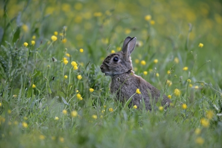 oryctolagus cuniculus: Rabbit, Oryctolagus cuniculus, single mammal in grass, UK          Stock Photo