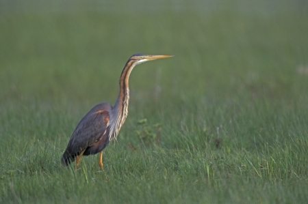 Purple heron, Ardea purpurea, single bird by water, India photo