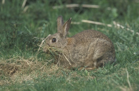 oryctolagus cuniculus: Rabbit, Oryctolagus cuniculus, single mammal collecting nest material, UK          Stock Photo