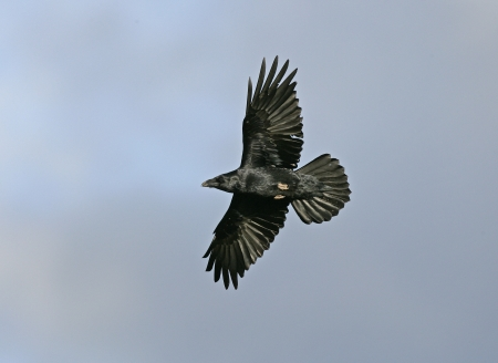 corax: Raven, Corvus corax, single bird in flight, Wales