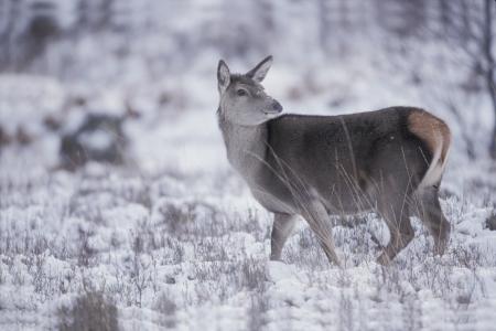 cervus elaphus: Red deer, Cervus elaphus, single female, UK