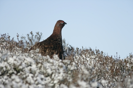 grouse: Red grouse, Lagopus lagopus, single male in snow, Scotland, UK
