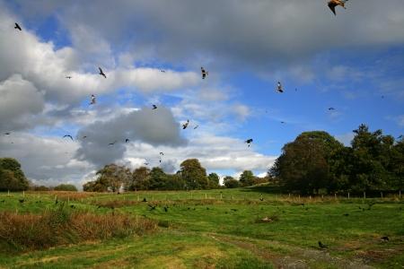 milvus: Red kite, Milvus milvus, group of birds in flight, Wales, UK