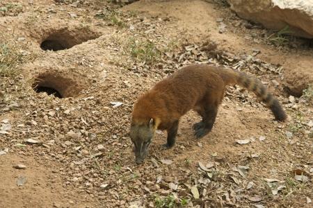 Ring-tailed coati, Nasua nasua, single mammal  Stock Photo