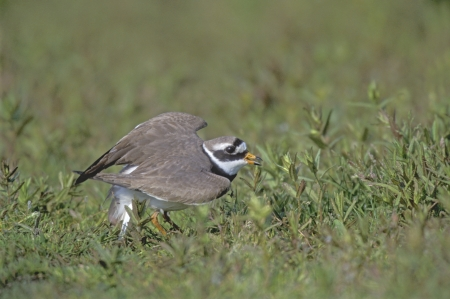 ringed: Ringed plover, Charadrius hiaticula, single bird broken wing display, Poland