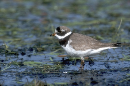 ringed: Ringed plover, Charadrius hiaticula, single bird in water, Poland