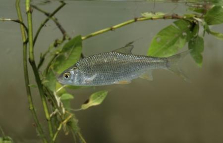 rutilus: Roach, Rutilus rutilus, single fish in water Stock Photo