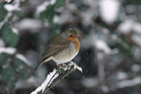 erithacus: Robin, Erithacus rubecula, single bird on branch in snow, UK