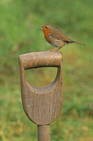 erithacus: Robin, Erithacus rubecula, single bird on spade handle, UK Stock Photo