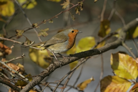 erithacus: Robin, Erithacus rubecula, single bird on branch, UK